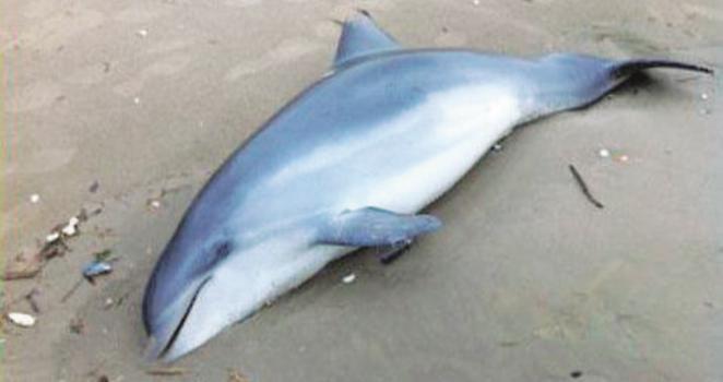 Delfino morto sulla spiaggia di Ladispoli